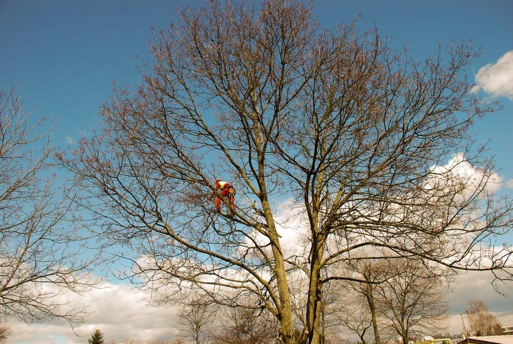 Nevarno obrezovanje sadnega drevja