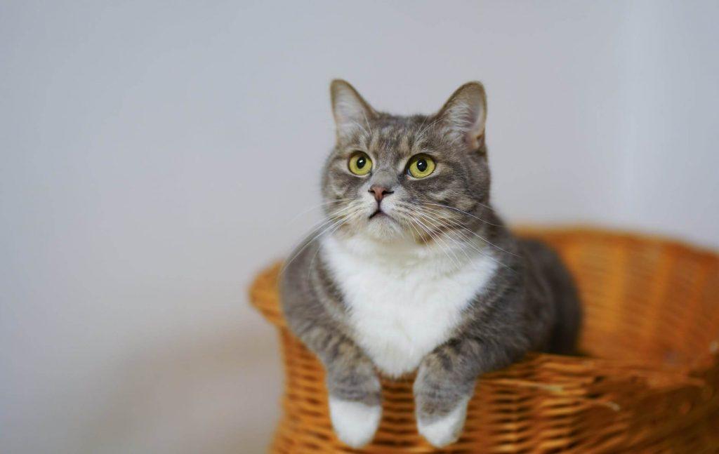 Kastracija mačka